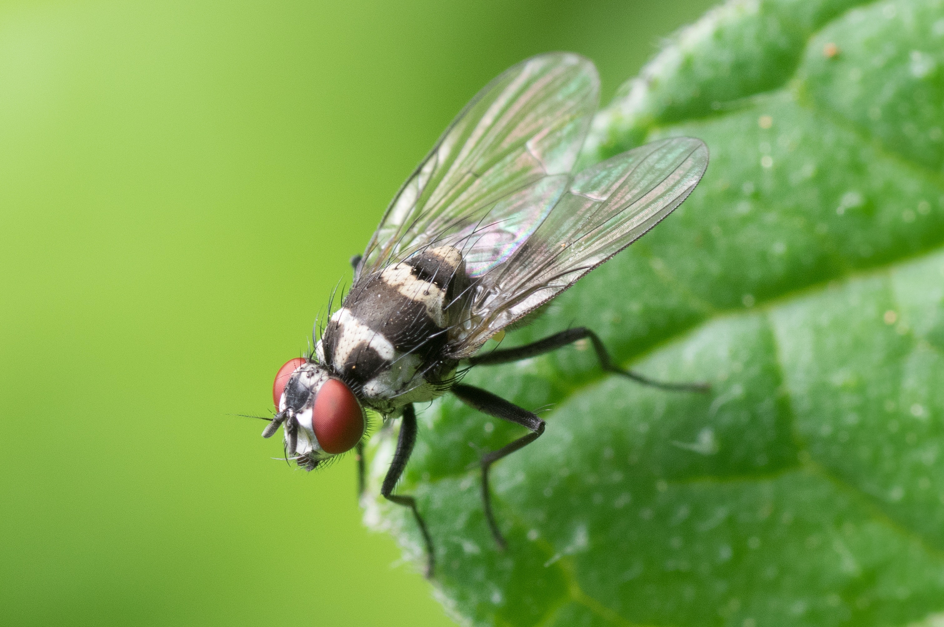 Fruit Flies Make Great Hearing Loss Test Subjects